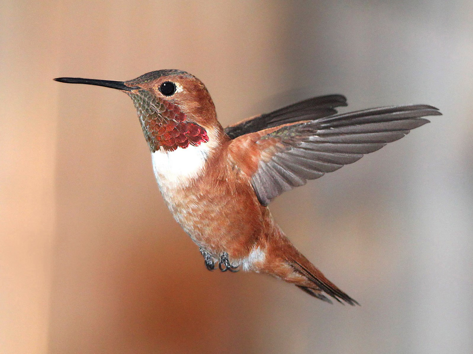 Rufous hummingbird - Credit: Alan Schmierer