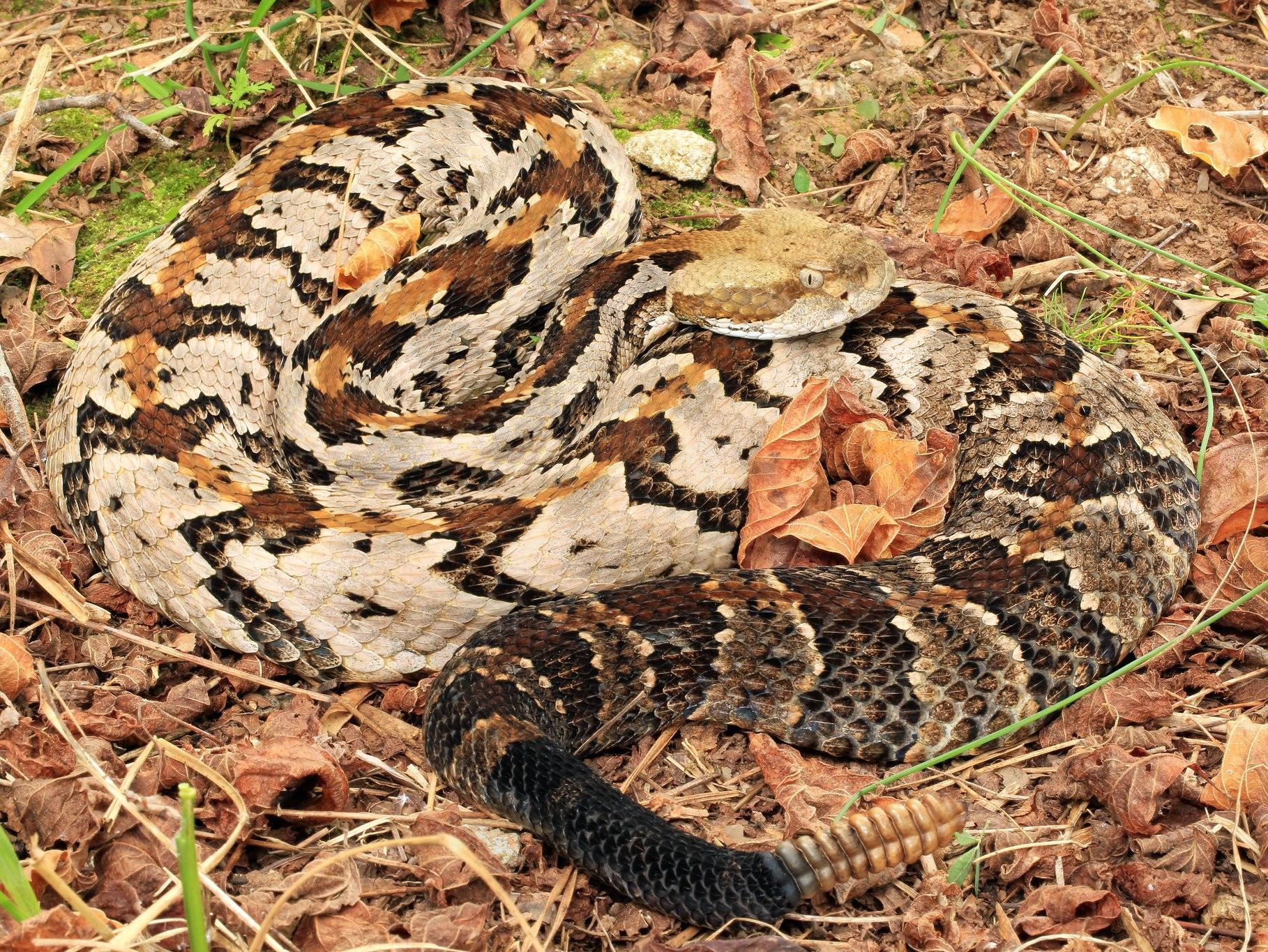 Timber Rattlesnake - Credit: Alan Cressler