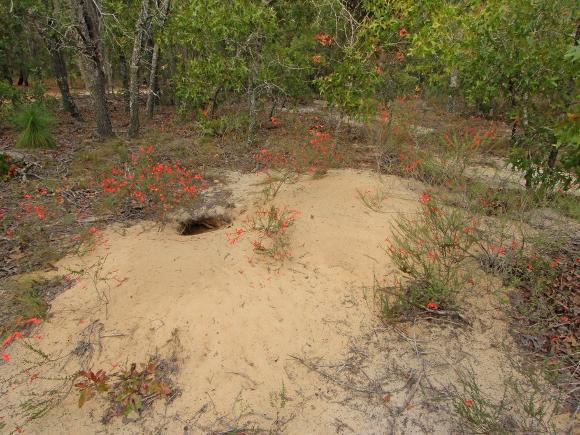 Gopher tortoise burrow - Credit: Alan Cressler