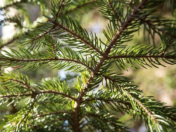 Red spruce - Credit: Katy Cain, NPS