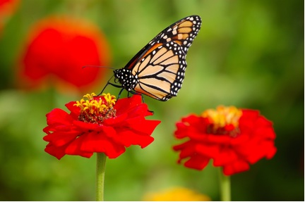 Picture of a monarch butterfly resting on a red flower