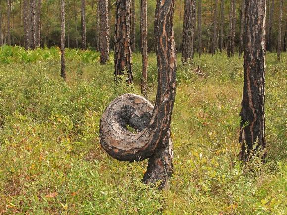 Longleaf pine - Credit: Alan Cressler