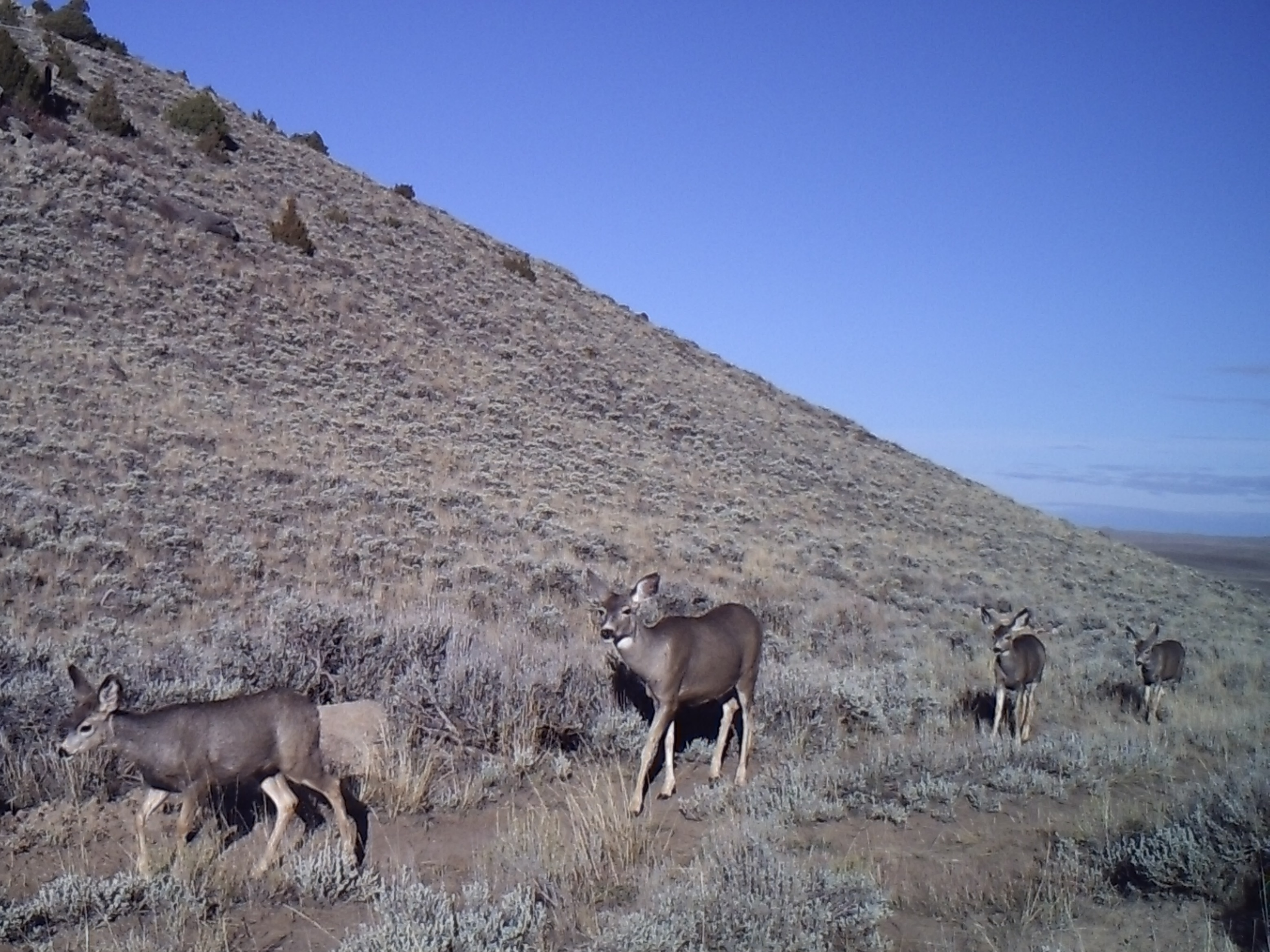 Mule deer photo taken from trail camera - Credit: Matt Kauffman
