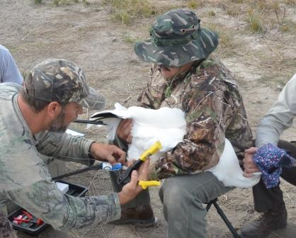 Banding whooping crane in Texas