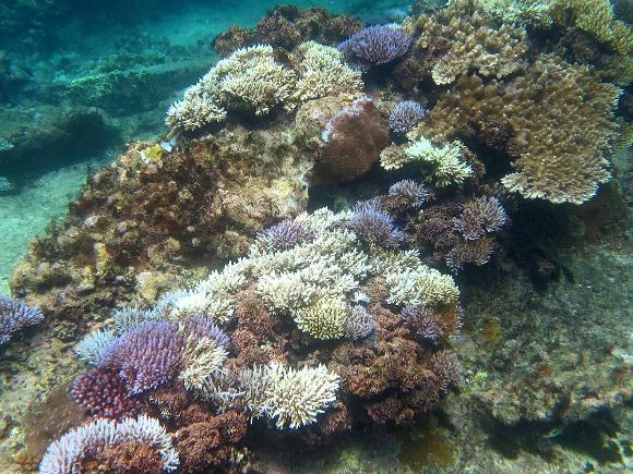 Bleached acroporid corals in Pago Bay, western Guam - Credit: Laurie Raymundo