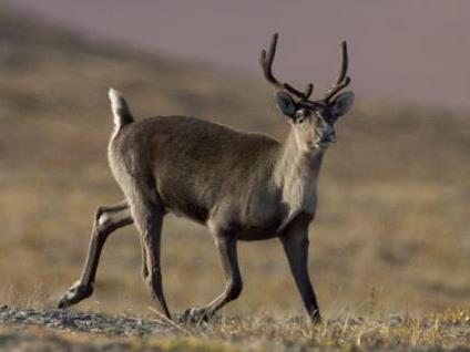 Caribou - Credit: Steve Hillebrand, FWS