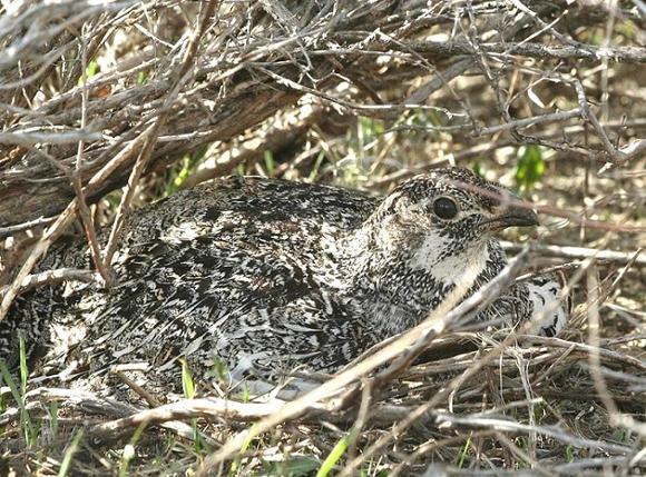 Sage-grouse hen on nest. Photographer: Erik Blomberg