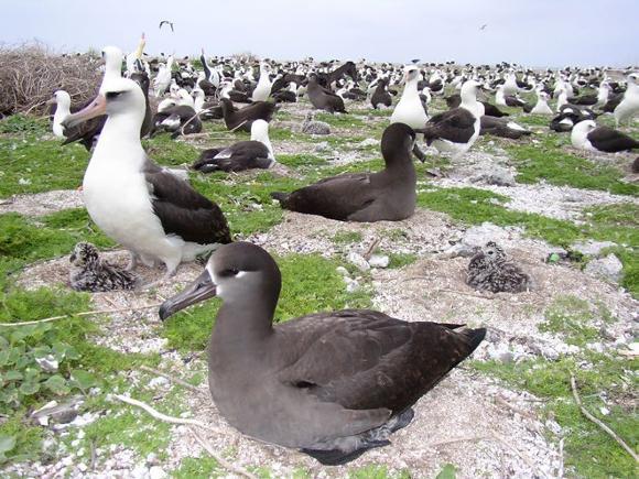 Black-footed & Laysan albatrosses nesting at Midway Atoll. Photo: John Klavitter