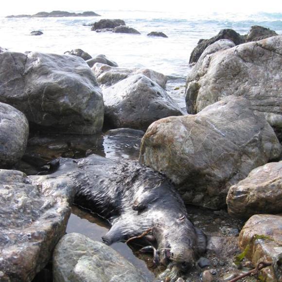 Sea otter found by USGS scientists in Piedras Blancas. Credit: Brian Hatfield