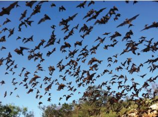 Mexican free-tailed bats (Tadarida brasiliensis) emerging from a breeding roost