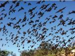 Mexican free-tailed bats emerging from a breeding roost in central Texas. Source-U.S. Fish & Wildlife Service. Image credit - Ann Froschauer, U.S. Fish and Wildlife Service..JPG from ScienceBase Item