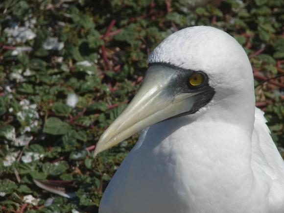 P.Jodice (2012) Masked Booby at nest, Jamaica